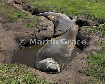 Southern Elephant Seals (Mirounga leonina) resting in a channel they have created above the beach, Carcass Island, Falkland I...