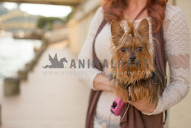yorkie being carried by owner