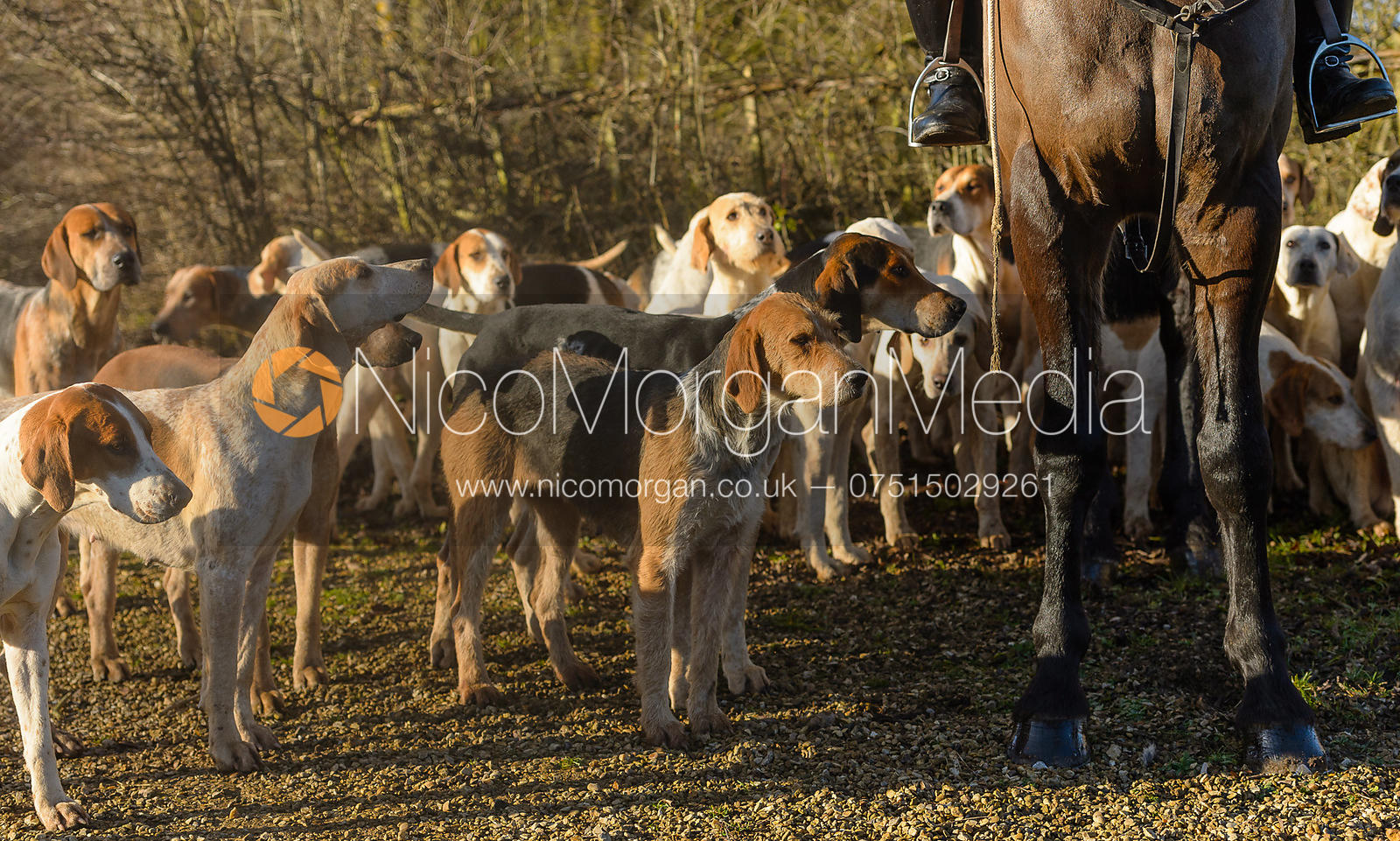 Cottesmore hounds at the meet - The Cottesmore at Town Park Farm