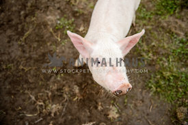 white baby pig with muddy snout