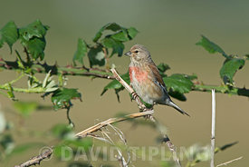 Common Linnet Linaria cannabina male Salthouse Norfolk summer