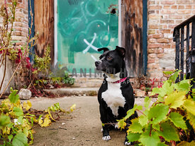 pit bull mix sitting guard in front of graffiti door