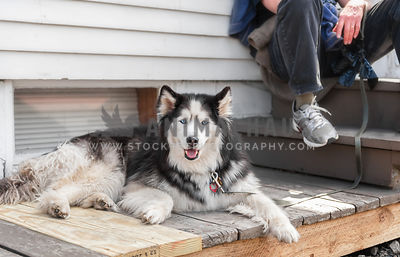 Man with a  blue eyed Malamute on a leash sitting on a porch outside