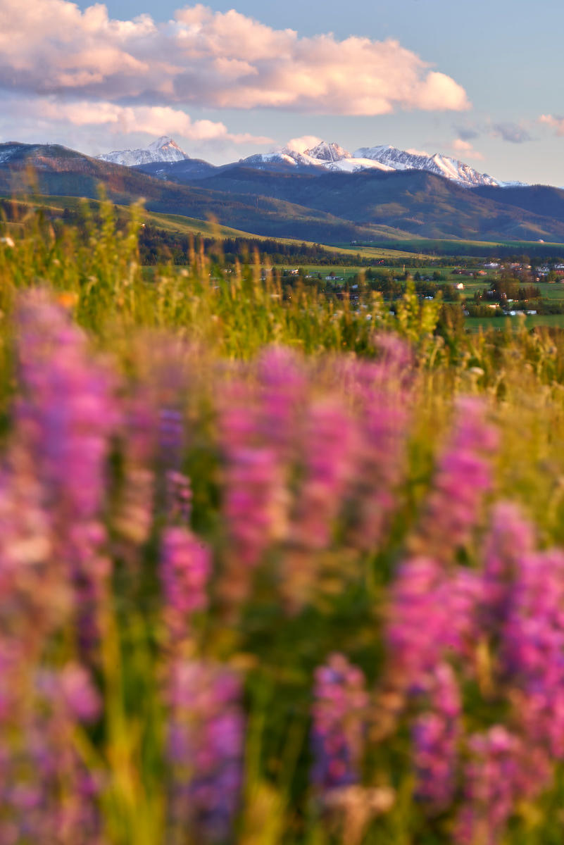 Lush Lupine and an equally stunning sunrise in a spring scene in Montana's Gallatin Valley