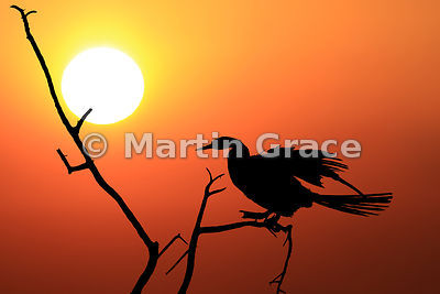 Image of an African Darter or Anhinga (Anhinga rufa (melanogaster)) silhouetted against the River Chobe sunset, Botswana