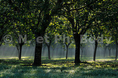NOYERS, DORDOGNE, FRANCE//WALNUT TREES, DORDOGNE, FRANCE