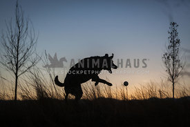 silhouette of dog playing with ball in sunset
