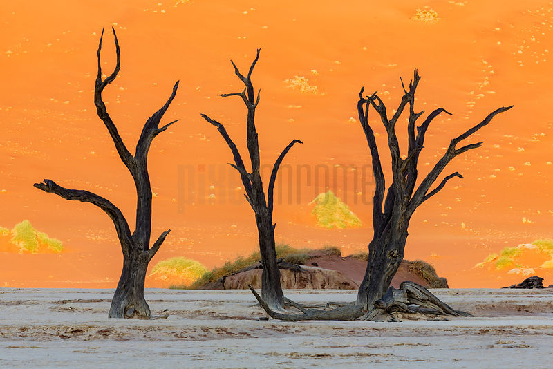Dead Camelthorn Trees at Dead Vlei