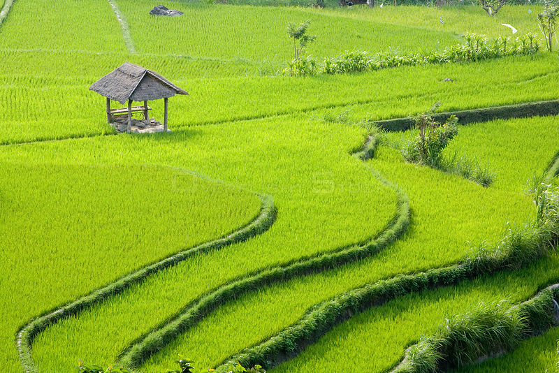 Rice paddy field, Selat, Bali Island, Indonesia, Pacific Ocean