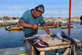 Fisherman cleaning freshly caught snoek ( Thyrsites atun ) , Caldera , Region III , Chile