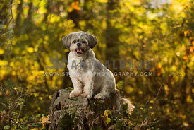 Adult Shih Tzu dog sitting on a tree stump in the forest