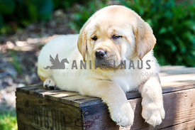 yellow labrador retriever puppy on old apple crate with paws dangling