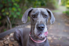 Blue great Dane looking confused with tounge out