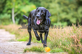 Black Labrador pointing with Ball