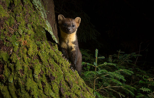 One of my favourite Pine Marten images from the camera traps each night