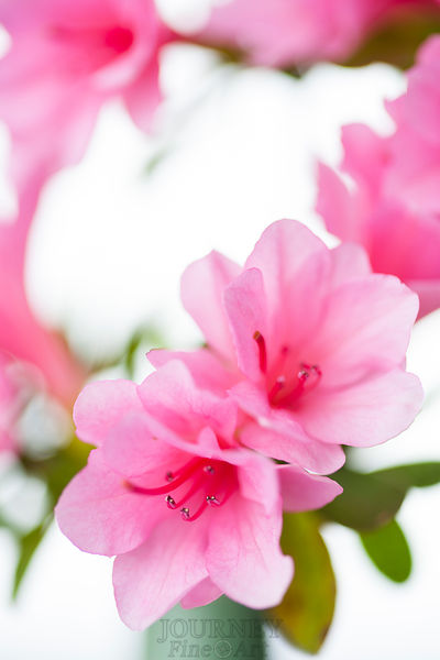 Close up of Pink Azalea