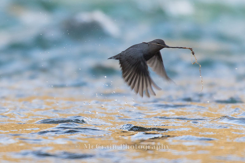 Here is one taking off to the nest with materials fresh out of the water.