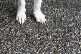 Front paws of white dog with painted toenails