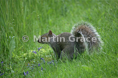 Grey Squirrel (Sciurus carolinensis) in a Lake District garden, Cumbria, England