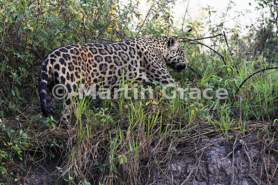 Male Jaguar (Panthera onca) known as Marley works his way along the top of the riverbank, River Cuiabá, Northern Pantanal, Ma...