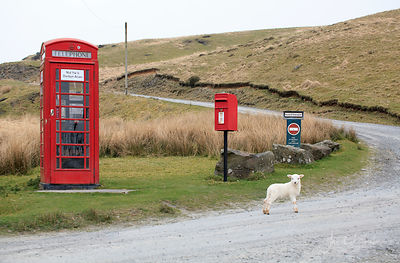 Welsh mountain lamb & telephone box