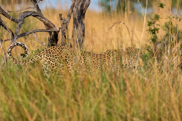 Leopard in Long Grass towards Sunset