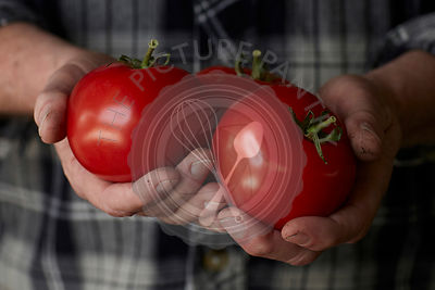 close up photograph of mans hands holding freshly picked, vine ripe red tomatoes, with dirt on his hands, wearing a black and...