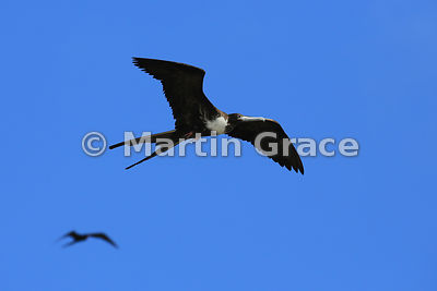 Magnificent Frigatebird juvenile (Fregata magnificens) in flight, Darwin Beach, Genovesa, Galapagos Islands