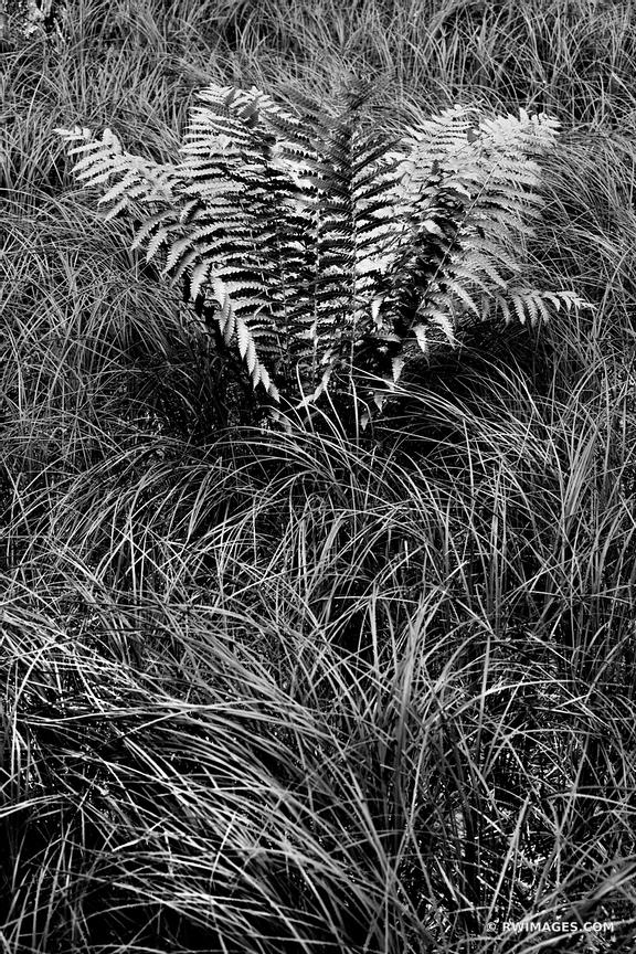 FERN AND TALL GRASSES IN THE WOODS JESUP PATH ACADIA NATIONAL PARK MAINE BLACK AND WHITE