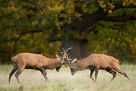 Fighting Stags at Dawn