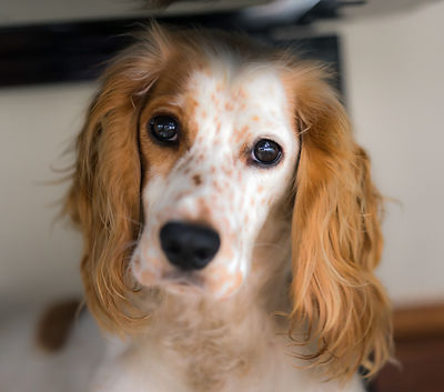 Willow - working cocker spaniel