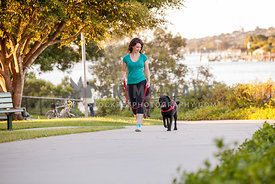 Woman walking Black Labrador in red harness and leash