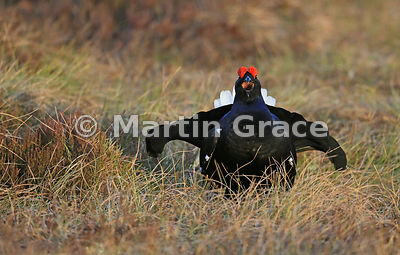 Male Black Grouse (Lyrurus (Tetrao) tetrix) displaying on the lek, April 8, Badenoch & Strathspey, Scotland