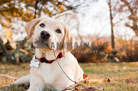 Curious Yellow Lab puppy pausing mid stick chewing