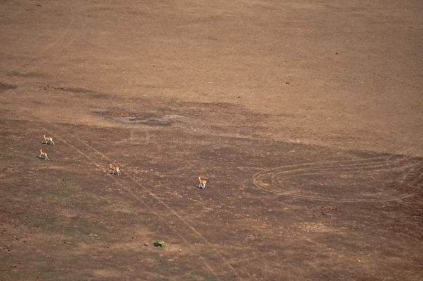 Red-fronted Gazelles (Eudorcas ruffifrons) in open habitat seen from the air. Sahelo-Sudanese Biome, W National Park (UNESCO,...