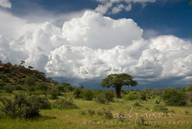 Single baobab tree (Adansonia digitata) towers over lush green bushveld with large fluffy white cumulo nimbus clouds in blue ...