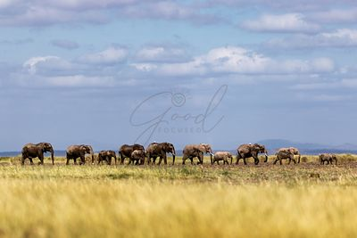 Line of African Elephants Walking in Amboseli