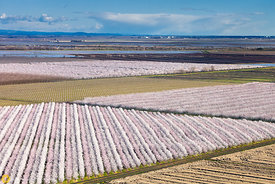 Almond Orchards in Bloom from the Air #2
