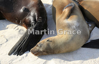 Galapagos Sea Lions (Zalophus californianus wollebacki or wollebaeki) asleep together on the beach at Cerro Brujo, San Cristo...