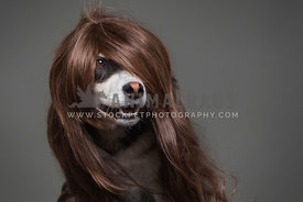 husky dog wearing wig in studio