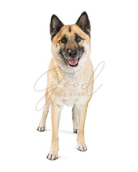 Akita Dog Standing on White With Happy Expression