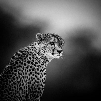 Portrait of a solitary cheetah in the wild, Botswana 2009 © Laurent Baheux