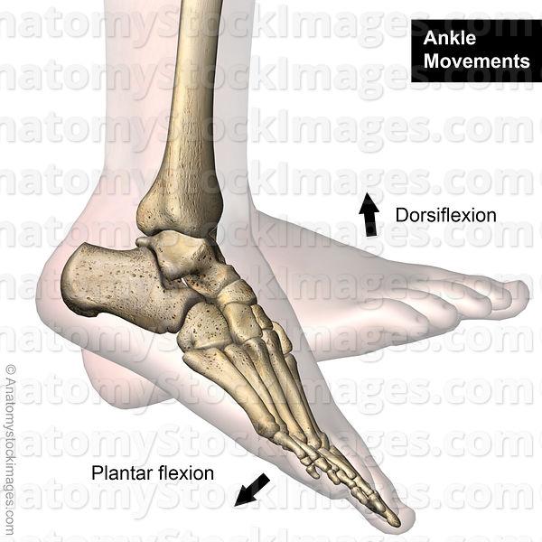 Flexie dorsală (dorsiflexie) a piciorului (
