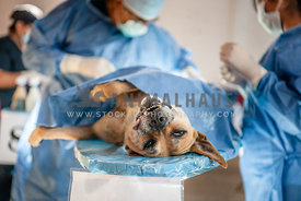 Dog having surgery
