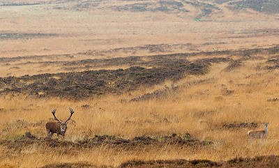 Red Stag on Big Moor, Autumn