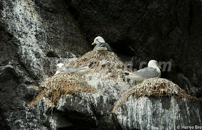 Kittiwakes nesting in Hebridean islands cliffs