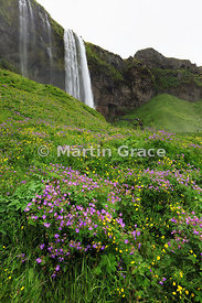 Seljalandsfoss waterfall, Sudurland (Su∂urland, Southern Region), Iceland, with Wood Cranesbill (Geranium sylvaticum) and but...