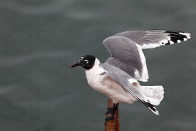 Adult Franklin's gull (Larus pipixcan) in non breeding plumage