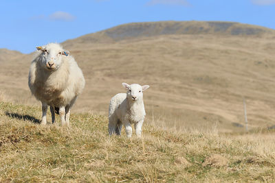 WELSH MOUNTAIN EWES & LAMBS