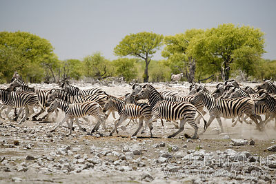 Zebra herd running